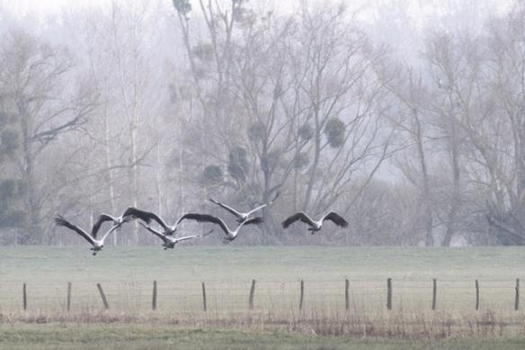 Cranes flying near mistletoe, France, 2 March 2013