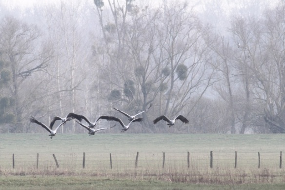 Cranes flying near mistletoe, France, 2 March 2013