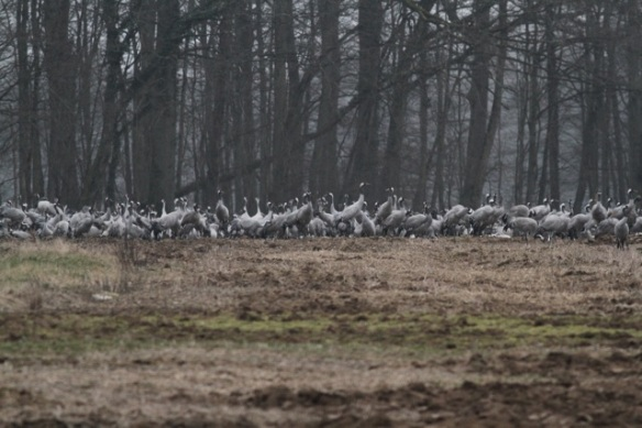 Cranes near forest, France, 1 March 2013