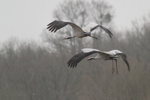 Cranes preparing to land at the Ferme aux Grues, France, 28 February 2013