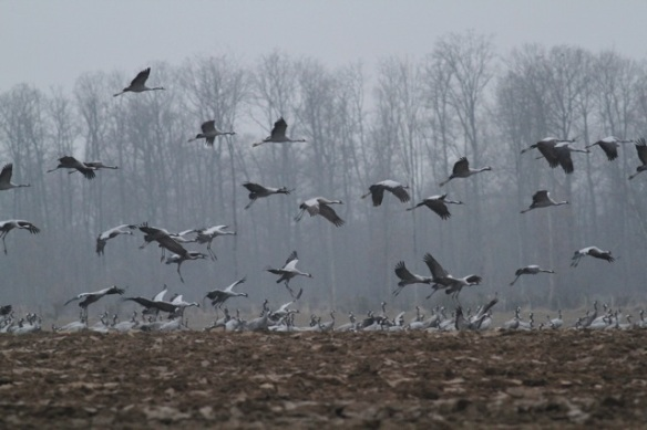 Cranes still flying close to forest, France, 1 March 2013