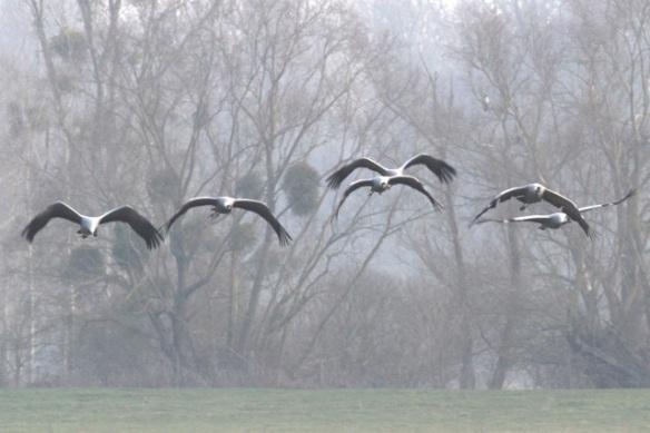 Cranes still flying near mistletoe, France, 2 March 2013