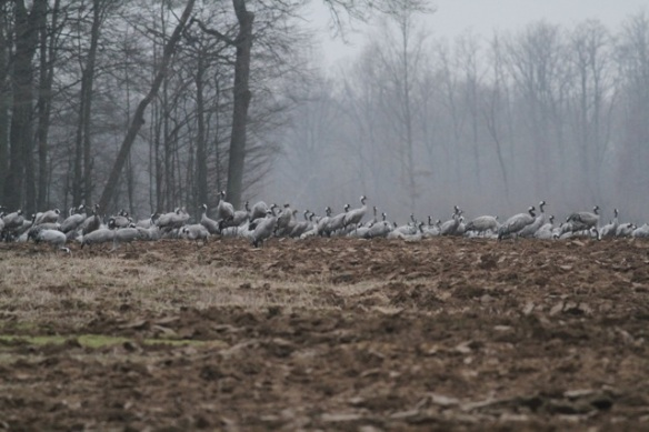 Cranes still near forest, France, 1 March 2013