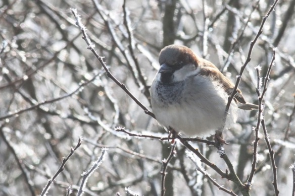 House sparrow male in frosty tree, Ferme aux Grues, 3 March 2013