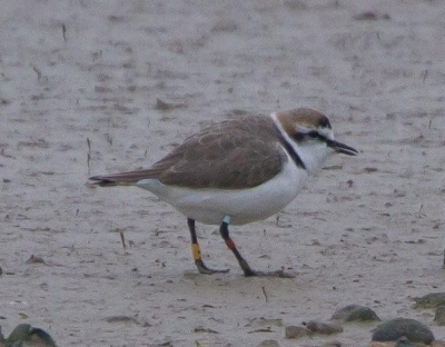 Kentish Plover at Rye Harbour