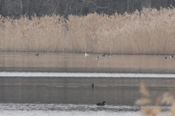 Male smew, back centre, among tufted ducks, France, 1 March 2013