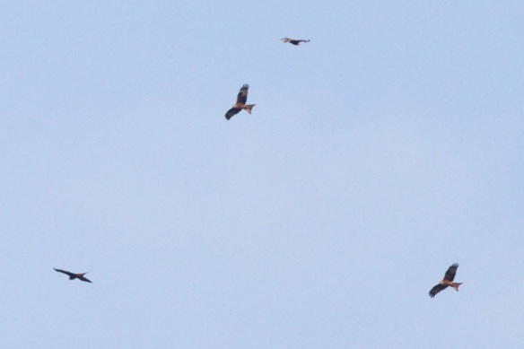 Red kites, France, 2 March 2013