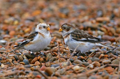 Snow buntings male and female