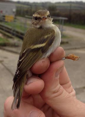 Yellow-browed warbler, Gwennap