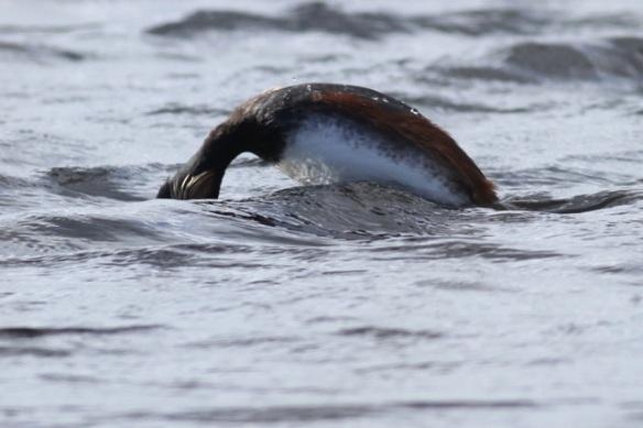 Black-necked grebe diving, Grenspoel, 29 April 2013