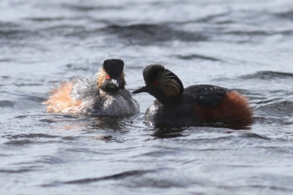 Black-necked grebes, Grenspoel, 29 April 2013