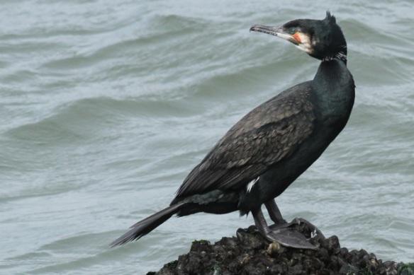 Great cormorant, IJmuiden, 14 April 2013