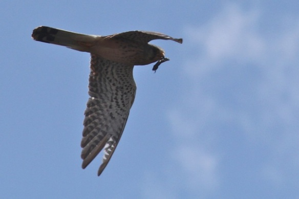 Kestrel with prey, Aekingerzand, 29 April 2013