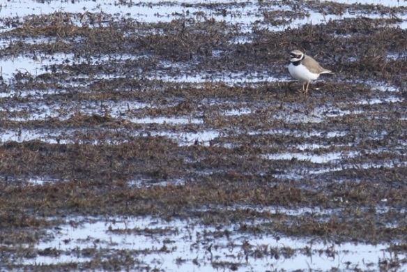 Little ringed plover, Landje van Geijsel, 7 April 2013