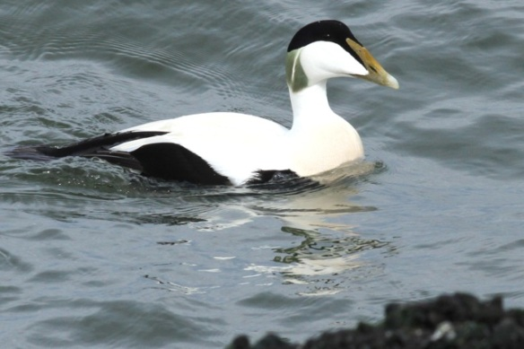 Male eider duck, IJmuiden, 14 April 2013