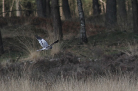 Male Montagu's harrier, Doldersumse veld, 28 April 2013
