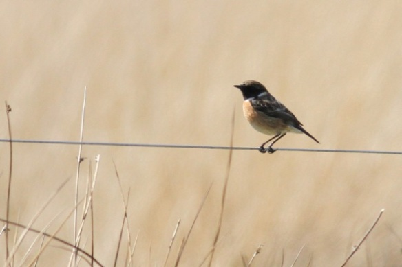 Male stonechat on wire, 28 April 2013