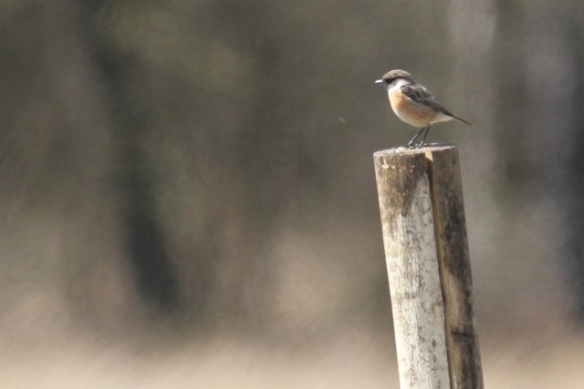Male stonechat sitting on pole, 28 April 2013