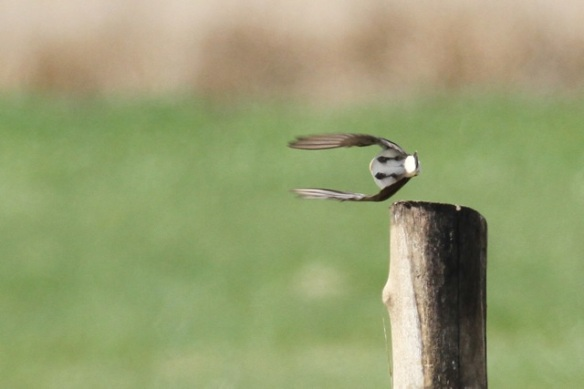 Northern wheatear flies away from pole, 28 April 2013
