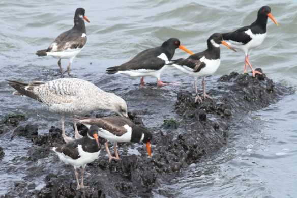 Oystercatchers and young herring gull, IJmuiden, 14 April 2013