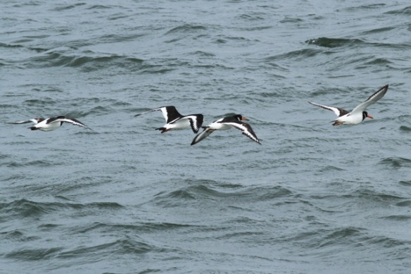 Oystercatchers flying away, IJmuiden, 14 April 2013