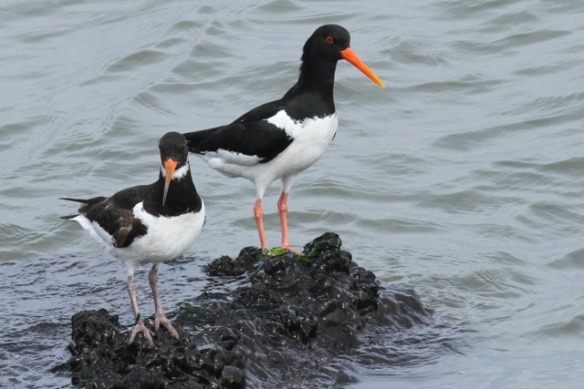 Oystercatchers, IJmuiden, 14 April 2013