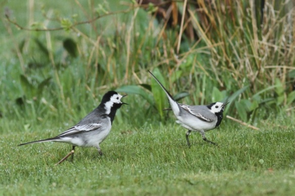 Pied wagtails, 28 April 2013