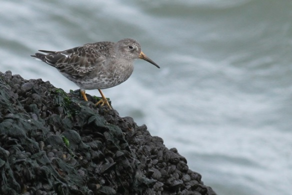 Purple sandpiper on rock, IJmuiden, 14 April 2013