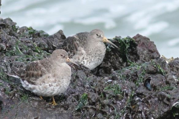 Purple sandpipers, IJmuiden, 14 April 2013