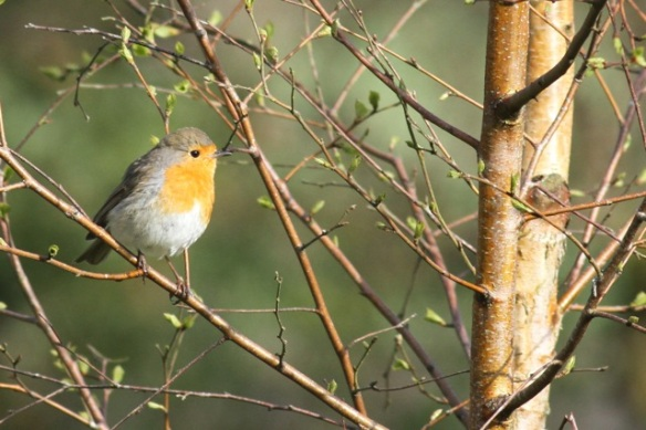 Robin, Drents-Friese wold, 28 April 2013