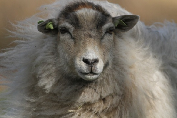 Sheep, Aekingerzand, 29 April 2013