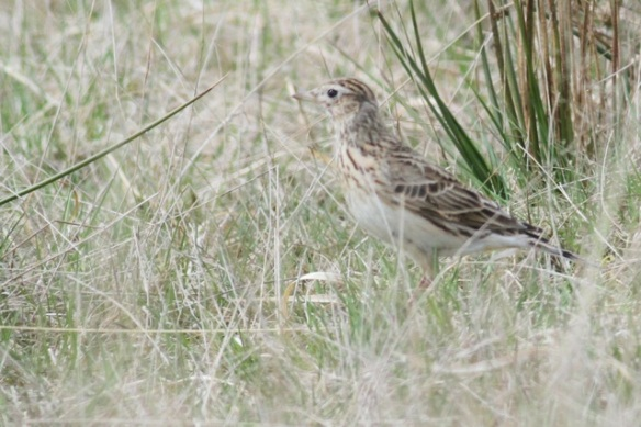 Skylark, grass near footpath, Doldersumse veld, 28 April 2013