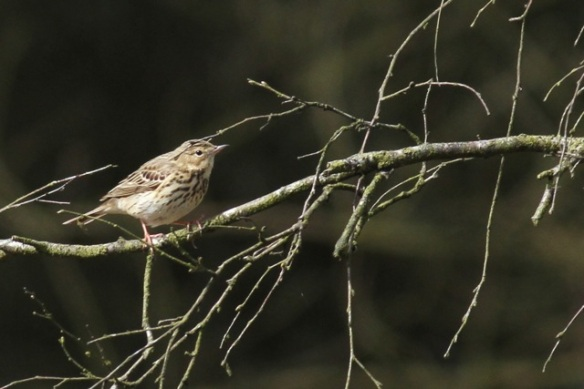 Tree pipit, Dolderdumse veld, 28 April 2013