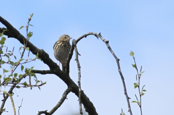 Tree pipit looking, Dolderdumse veld, 28 April 2013