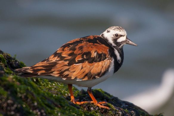 Turnstone in summer plumage, IJmuiden, 22 April 2013