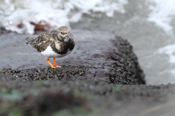 Turnstone standing, IJmuiden, 14 April 2013