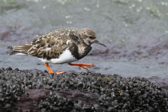 Turnstone walking, IJmuiden, 14 April 2013