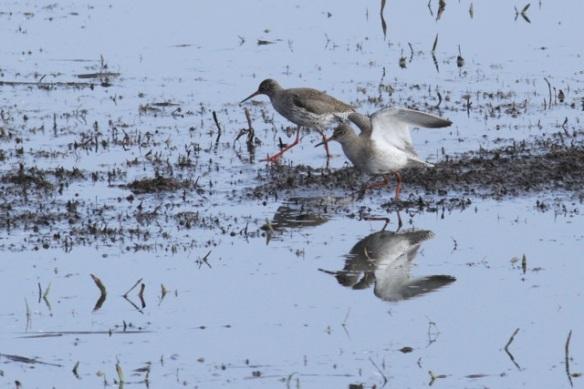 Two redshanks on mud, Landje van Geijsel, 7 April 2013