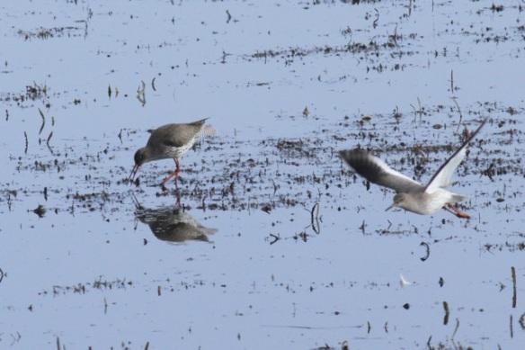 Two redshanks, one flying, Landje van Geijsel, 7 April 2013
