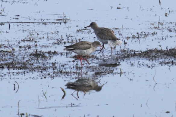 Two redshanks, one spreading its tail feathers, Landje van Geijsel, 7 April 2013