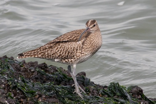 Whimbrel, IJmuiden, 14 April 2013