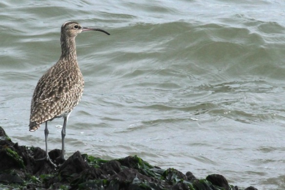 Whimbrel on jetty, IJmuiden, 14 April 2013