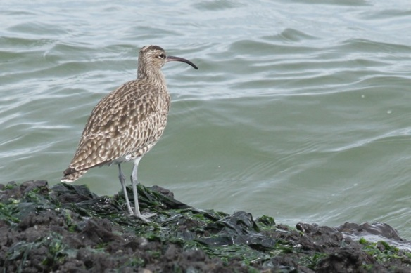 Whimbrel still on jetty, IJmuiden, 14 April 2013