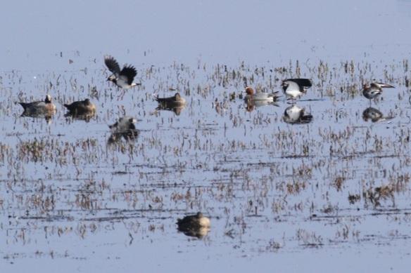 Wigeons, lapwings, a black-tailed godwit, Landje van Geijsel, 7 April 2013