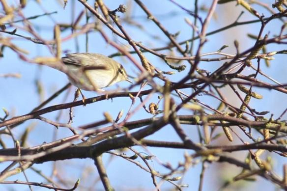 Willow warbler, Nieuwkoopse plassen, 20 April 2013
