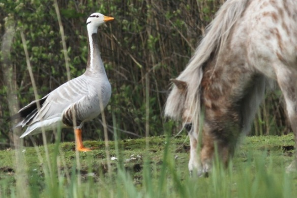 Bar-headed goose and poney, 19 May 2013