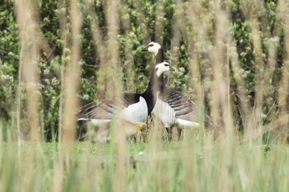 Barnacle geese with gosling, 19 May 2019