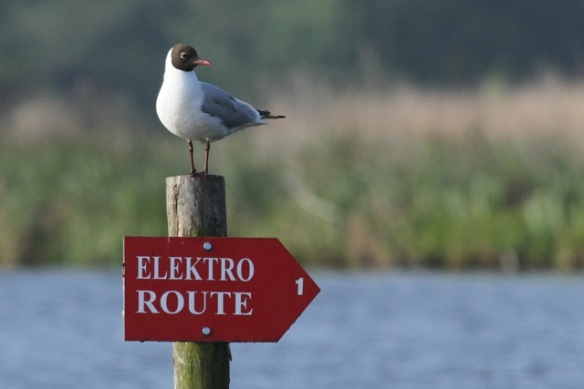 Black-headed gull on pole, 19 May 2013