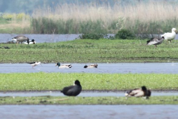 Black-winged stilt, center left, to the left of swimming mallards; also: coot, domestic and gray lag geese, shelduck, 19 May 2013