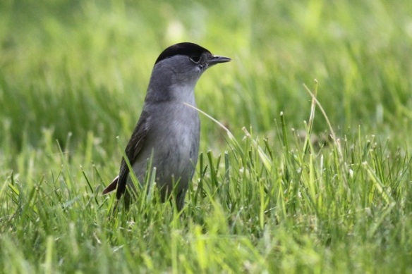 Blackcap male on the lawn, 3 May 2013